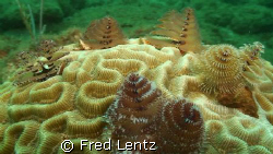 I swam right by this coral at least 5 times, after lookin... by Fred Lentz