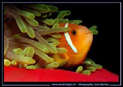 Clown Fish hidding... by Michel Lonfat