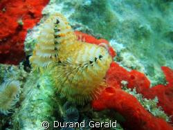 """christmas tree""(spirobranchus giganteus) under caraibe's... by Durand Gerald"
