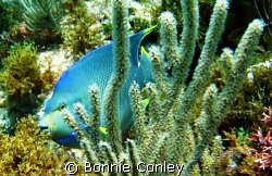 This Blue Angel was seen at Isla Mujeres April 2006.  The... by Bonnie Conley