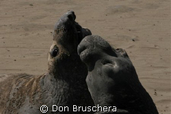 Young male elephant seals during molting season are havin... by Don Bruschera