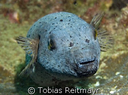 Spot face pufferfish, he was kind of sleeping on the cora... by Tobias Reitmayr