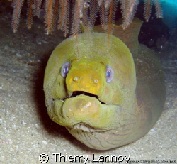 Moray Eel in the sea of Cortez.... by Thierry Lannoy