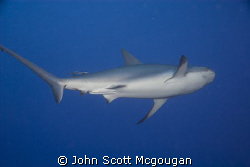 The Caribbean Reef Shark departs, but not for long.  Shyn... by John Scott Mcgougan