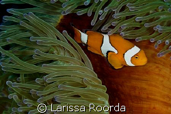 Amphiprion percula.  CLOWN ANEMONEFISH.  Another shot of ... by Larissa Roorda