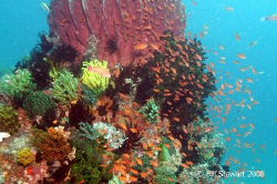 Anthias surround an outcropping of coral covered with cri... by Bill Stewart
