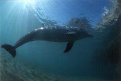 Flipper - just beautifully playing around in the Sinai wa... by Viora Alessio