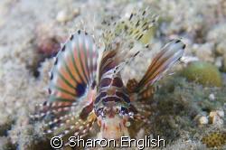 Juvie lion fish by Sharon English