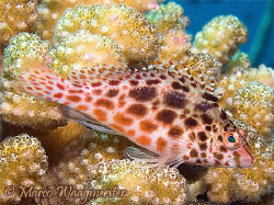 Spotted Hawkfish (Canon G9, Inon D2000w) by Marco Waagmeester