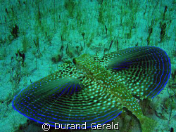 flying gurnard take off! (snorkling shoot) by Durand Gerald