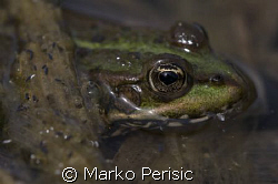 Common pond frog. Taken with Canon 40D and a 150 mm sigma... by Marko Perisic