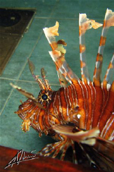 Lionfish in the kitchen! TAke on a newly sunken wreck in ... by Adriano Trapani