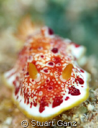 Red Spotted Nudibranch, Taken @ Sharks Cove, Oahu. I used... by Stuart Ganz