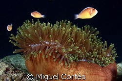 Clownfishes and anemone. by Miguel Cortés