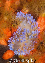 a gas flame nudibranch (Bonisa nakaza) wallowing amongst ... by Geoff Spiby