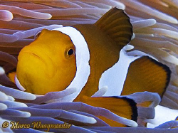 Clown Anemonefish (Canon G9,Inon D2000w) by Marco Waagmeester