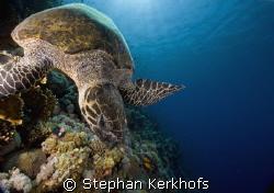 hawksbill turtle (eretmochelys imbricata) taken at ras na... by Stephan Kerkhofs