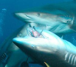 Shark Feed, Nassau, Bahamas. November 2003 by Sally Thomson