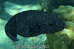 Ball Fish by Vito Lorusso