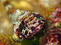 A smiling (well sort of ) Scaly-headed Triplefin (Karalep... by Brian Mayes