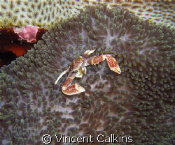 Oshimaʻs Porcelain Crab!  Shot with my Fuji E900 with Ike... by Vincent Calkins
