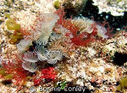 Featherdusters seen at Isla Mujeres April 2006.  Photo ta... by Bonnie Conley