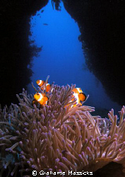 Clown fish at Tiger Reef, Tioman Island.  Shot on my Olym... by Grahame Massicks