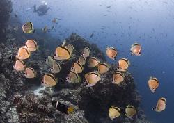 Butterfly fish. Santiago. Galapagos. D200, 10.5mm. by Derek Haslam
