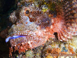 Raggy Scorpionfish portrait (Canon G9, Inon D2000w) by Marco Waagmeester