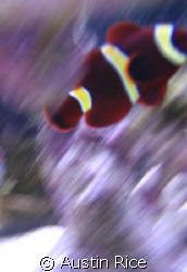 My Gold Striped Maroon clownfish in my 60 gallon aquarium... by Austin Rice
