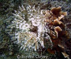 Turkey of the Sea at Roatan Honduras.   Photo taken July ... by Bonnie Conley