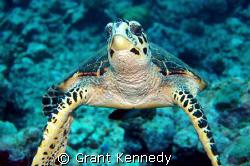 Hawksbill turtle by Grant Kennedy