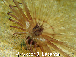 banded tube-dwelling anemone in crash boat dive site in A... by Victor J. Lasanta