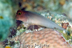 Blenny, D300, 105mm, twin strobes by Larry Polster