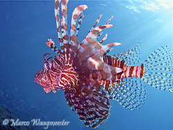 Red Lionfish (pterois volitans) -  (Canon A620, Built-in ... by Marco Waagmeester