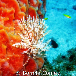 Turkey of the Sea at Sint Maarten.  Photo taken August 20... by Bonnie Conley