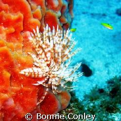 Turkey of the Sea at Sint Maarten.  Photo taken August 20... by Bonnie Conley