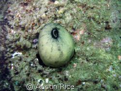 A Keyhole Limpet on a rock. Shaw's Cove, Laguna Beach, Ca... by Austin Rice