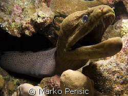 Giant Moray (gymnothorax javanicus) shows off the hard we... by Marko Perisic