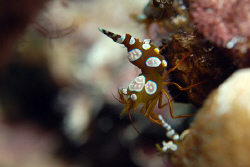 Squat cleaner shrimp. by Dray Van Beeck