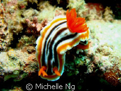 A nudibranch with weird rhinophore. by Michelle Ng