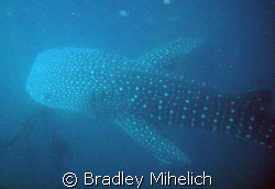Whale sharks off the coast of okinawa. by Bradley Mihelich