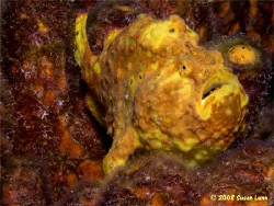 Yellow Frogfish poses , Bonaire, May 2008. Canon 400D, 60... by Susan Lunn