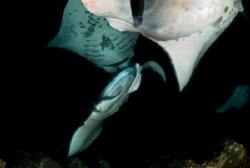 4 Mantas feeding at night in Kona-- not a composite by Andy Lerner