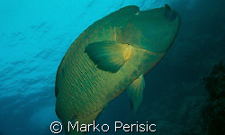 A Napoleon Wrasse (cheilinus undulatus) the keeper of the... by Marko Perisic