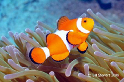 """Western Clown Anemonefish  (Amphiprion ocellaris)""   Pho... by Bill Stewart"