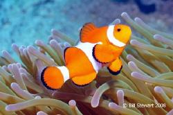 """Western Clown Anemonefish  (Amphiprion ocellaris)""   Pho... by Bill Stewart"