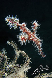 An all time favorite: Ornate Ghostpipe Fish by Adriano Trapani