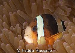 clownfish at siladen ,bunaken park,nikon d2x60mm macro by Puddu Massimo