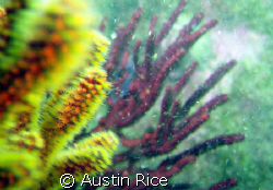 Yellow gorgonian coral with purple gorgonian in the backg... by Austin Rice